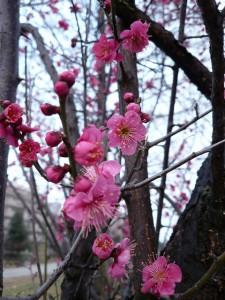 ume flowers 3