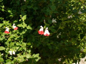 red-white flower